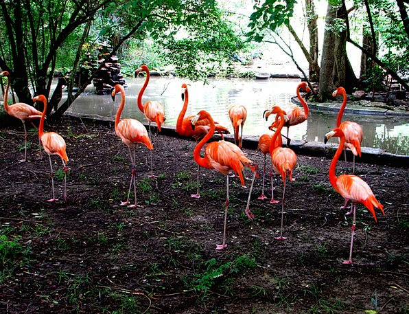 Pink Flushed Bird Fowl Flamingos Standing Stand-up