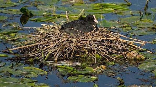 Eurasian Coot Fowl Bird Macro Nest Shell Nature Po