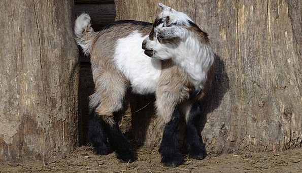 Goat Animal Physical Goats Mammals Creatures Farm