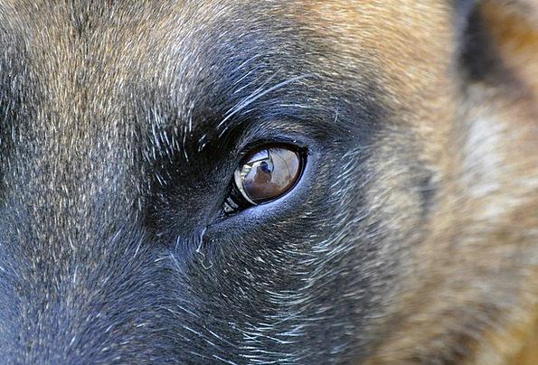 Dog Canine Judgment Animal Physical Eye Portrait R