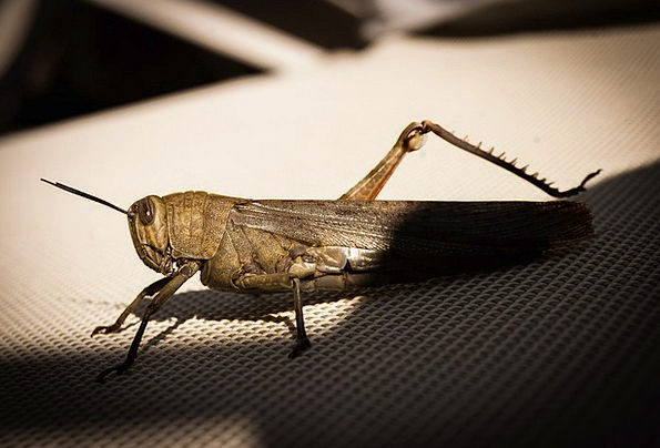 Grasshopper Insect Bug Cricket