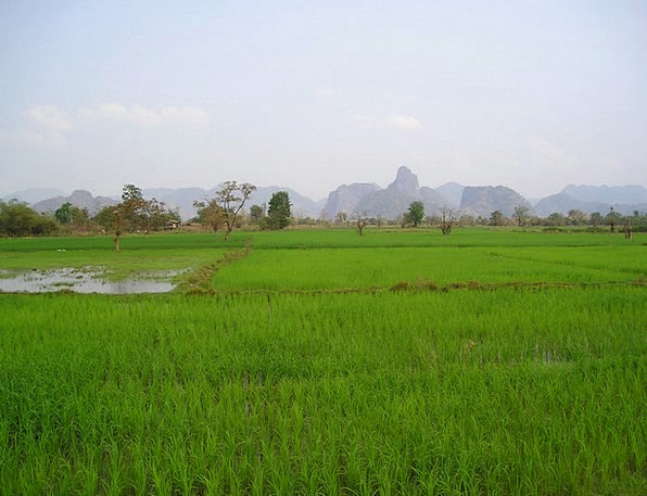 Laos Rice Rice Fields Rice Plantations Plantations