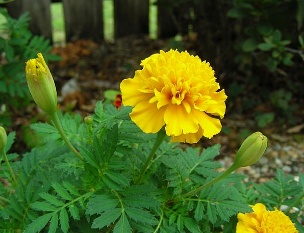 Marigold Flower Floret Yellow Marigold Flowers Pla