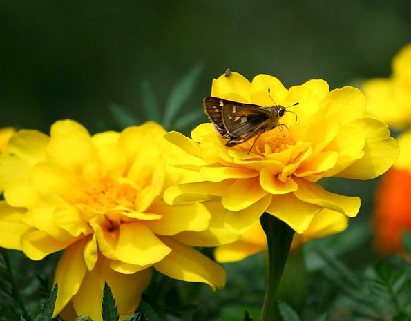 Butterfly Captain Small Minor Skipper Insects Bugs