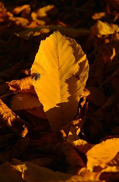 Chestnut Leaf Fall Leaves Chestnut Leaves Real Fly