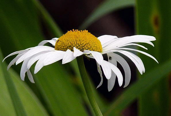 Ox Eyed Daisy Landscapes Floret Nature Wildflower