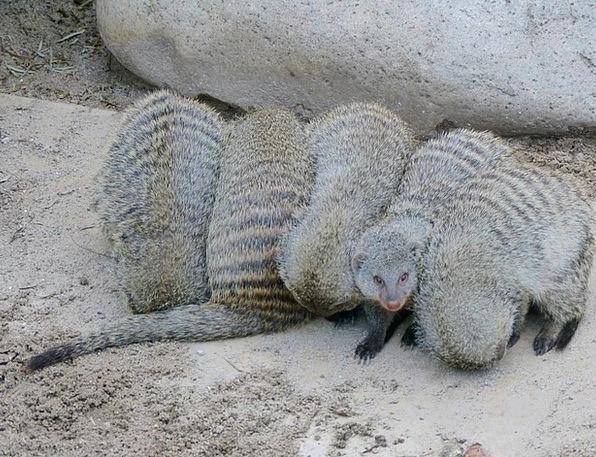 Banded Mongoose Mongoose Mammal Cold Animal Physic
