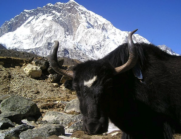 Nepal Traffic Chat Transportation Tibetan Yak Ox S