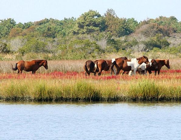 Wild Horses People Marsh Ponies Herd Assateague Sw