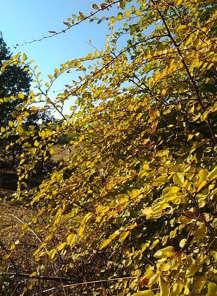 Autumn Fall Creamy Judas Tree Yellow