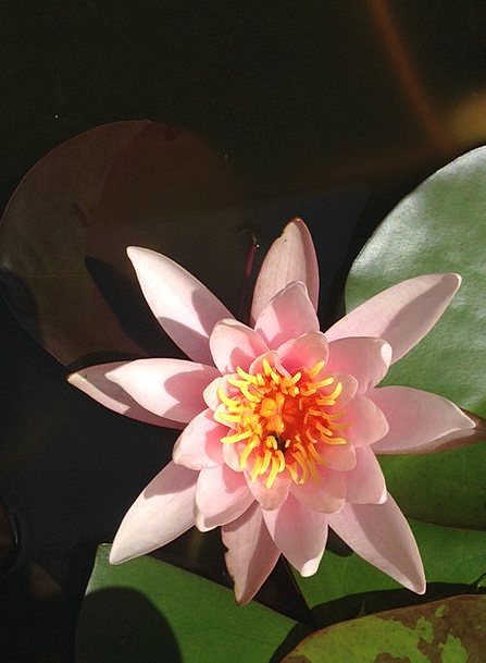 Water Lily Landscapes Vegetable Nature Flower Flor