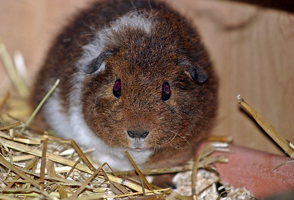 Guinea Pig Pet Domesticated Josie Young New Babies
