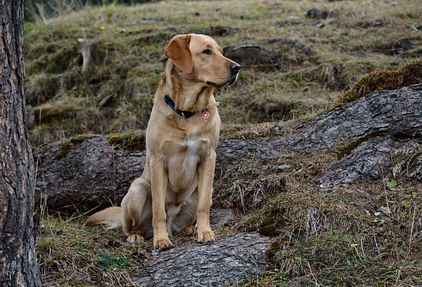 Dog Canine Nature Countryside Labrador Sitting Sed