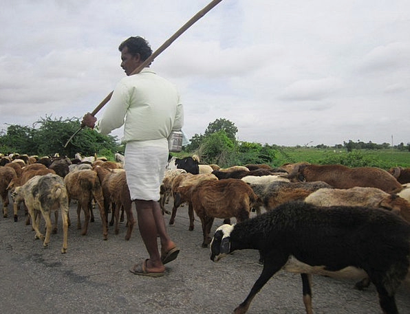 Sheep Ewe Gentleman Herding Driving Man Flock Herd
