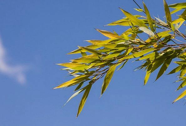 Bamboo Cane Lawn Bamboo Plants Grass Grasartig Gre