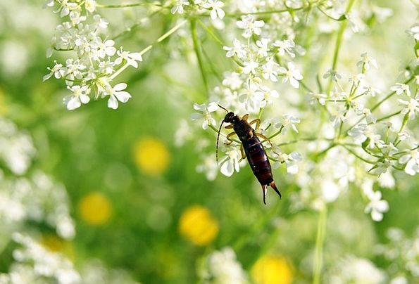 Ohrenhoehler Insect Bug Earwig Flower Floret Meado