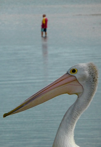 Pelican Regeneration Marine Maritime Recreation Pe
