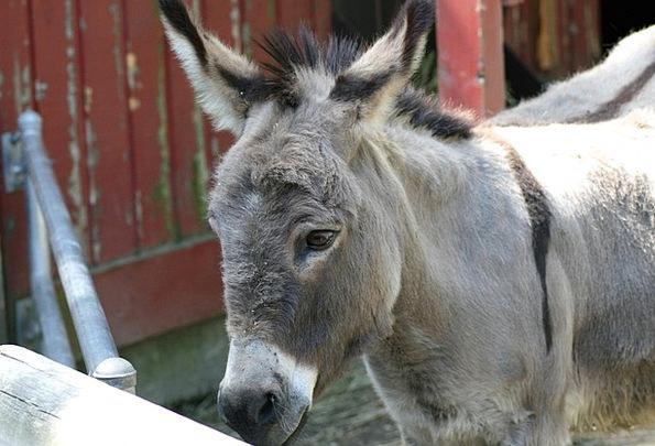 Donkey Mule Burro Jackass Gray Ass Animal Zoo Natu