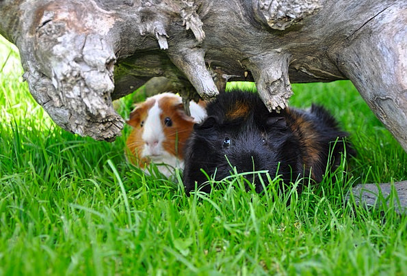 Guinea Pig Landscapes Lawn Nature Nature Countrysi