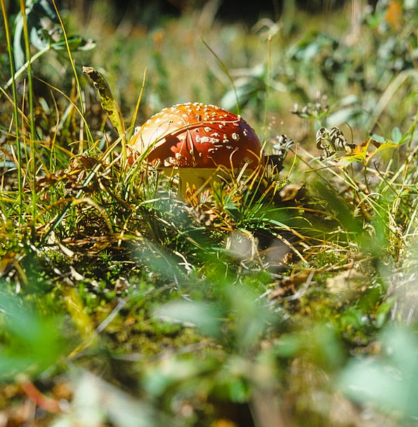 Amanita Fly Amanita Muscaria Mushroom Burgeon Indi