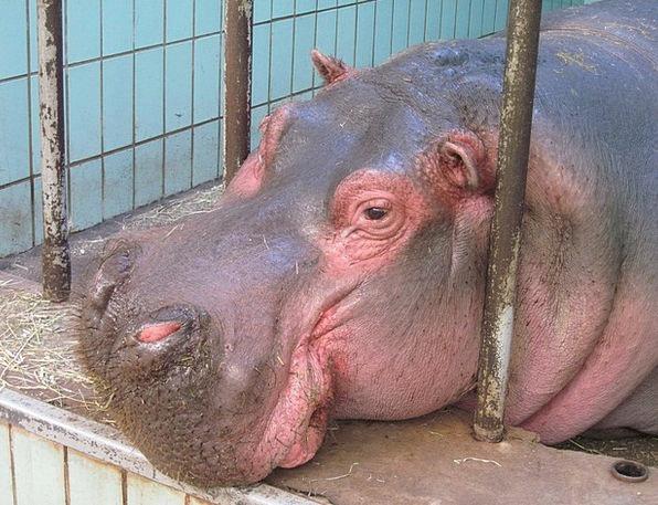 Hippo Menagerie Animal Physical Zoo Mammal Creatur