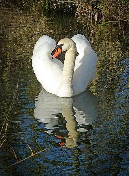 Swan Wander Understand Water Bird See Waters Liqui