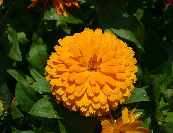 Calendula Calendula Officinalis Marigold Yellow Cr