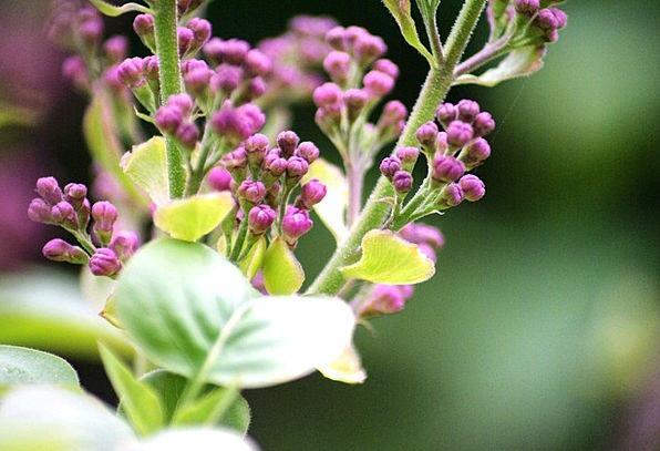 Flowers Plants Mauve Close Near Lilac Syringa Purp