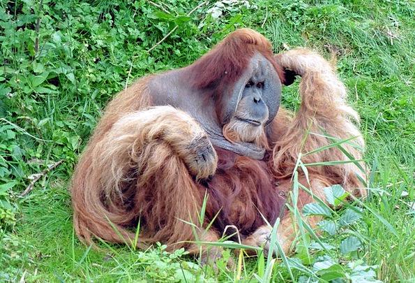 Monkey Ape Äffchen Chimpanzee Animal World Zoo Sch