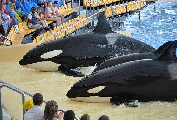 Killer Whales Landscapes Nature Killer Murderer Sh