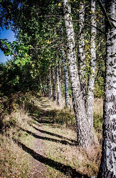 Tree Sapling Landscapes Cane Nature The Path Birch