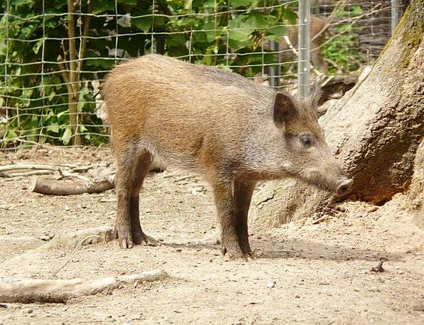 Pig Glutton Sus Scrofa Boar Fur Altweltliches Pig