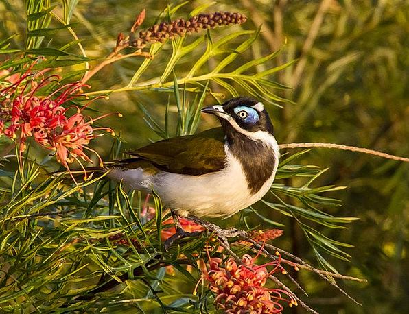 Blue Faced Honeyeater Fowl Exotic Unusual Bird Fea