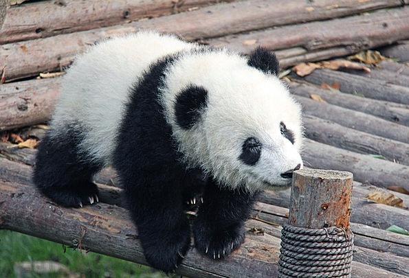 Panda Bear Dark Panda Black Animal Physical Chengd