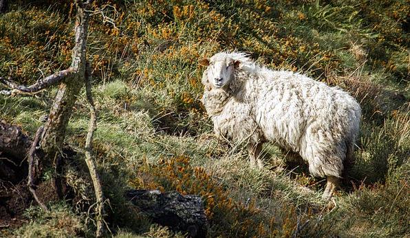 Animal Physical Ewe Nature Countryside Sheep