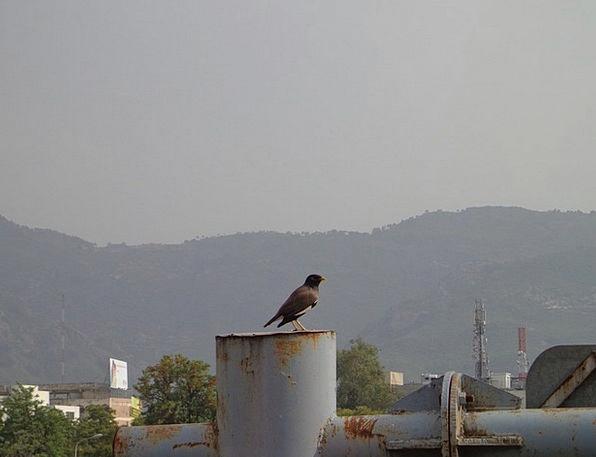 Bird Fowl Crow Caw Black Bird