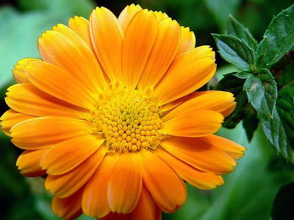 Flower Floret Carroty Petal Orange Blooming Flouri
