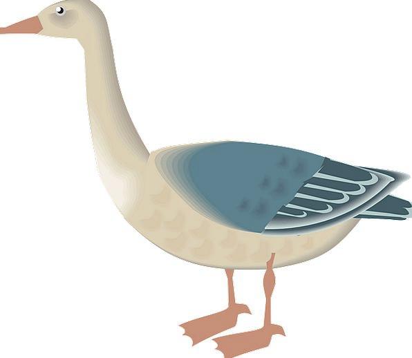 Goose Fowl White Snowy Bird Waterfowls Blue Azure