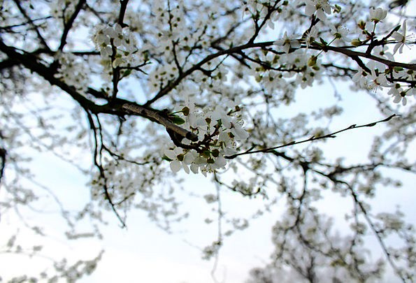 Mirabelka Landscapes Nature Plum Desirable Flowers