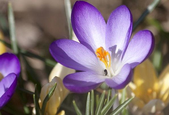 Crocus Landscapes Nature Spring Crocus Schwertlili