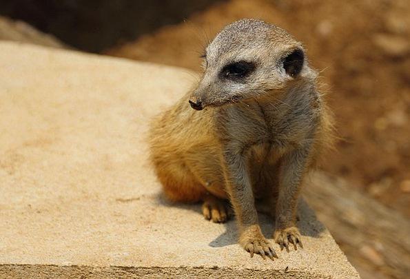 Meerkat Menagerie Mammal Creature Zoo Animal Physi