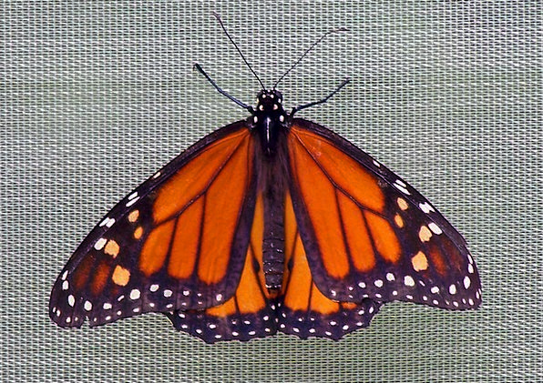 Butterfly Ruler Insect Monarch Flutter Wings Annex