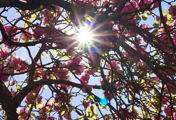 Magnolia Tree Landscapes Taillight Nature Spring C