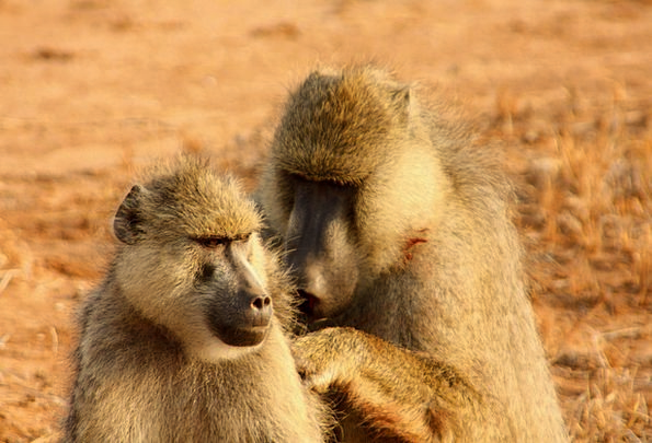 Monkeys Apes Twosome Animal Physical Couple Advent
