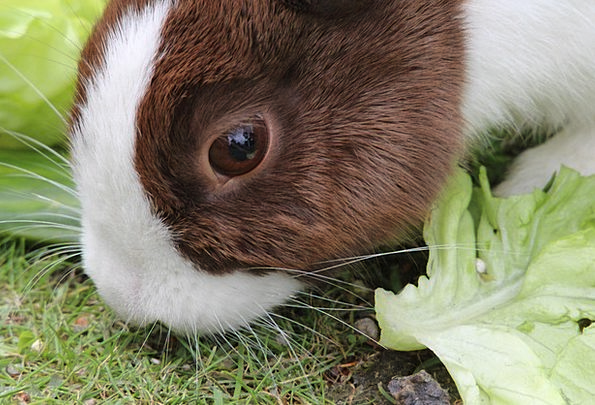 Rabbit Bunny Pet Domesticated Dwarf Rabbit Animal