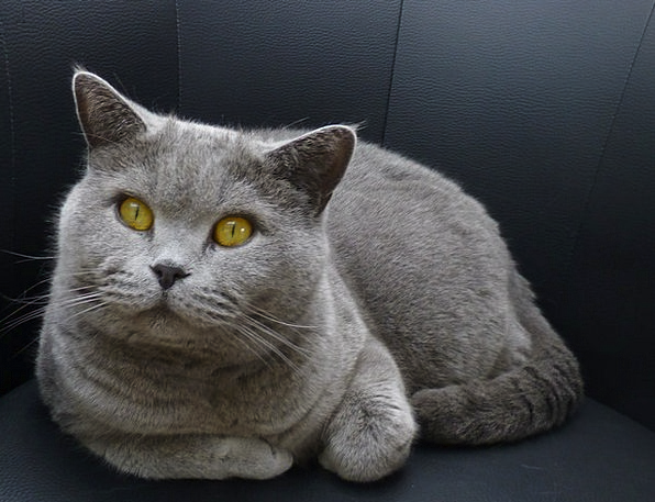 Cat Feline View Opinion «Top» Lauer Position Eyes