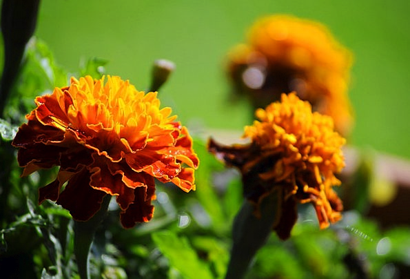 Marigold Plants Colors Insignia Flowers Garden Plo