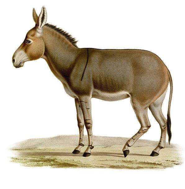 Donkey Rock Drawing Sketch Workhorse Quadropeds Et
