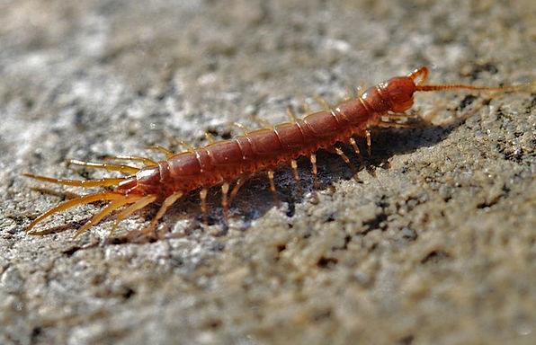 Centipede Tiptoe Worm Larva Creep Creeping Tiptoei