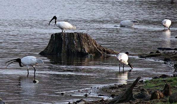 White Ibis Bird Fowl Ibis Avifauna Wader Gumboot A